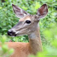 deer-family1