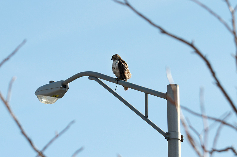 hawk-straps15