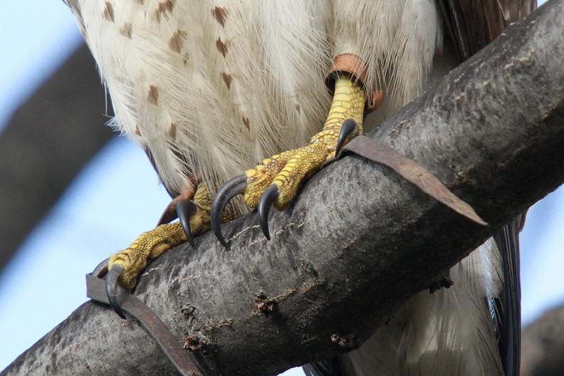 hawk-straps6