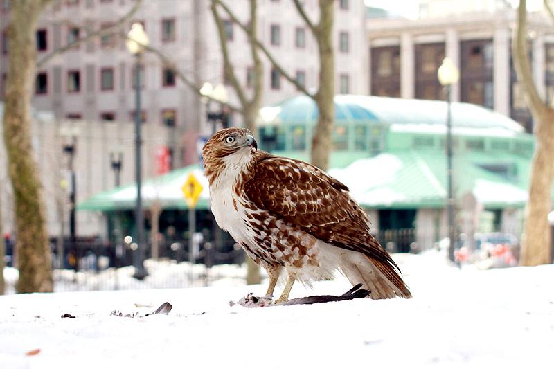 hawk-snow4