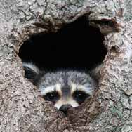 raccoon4
