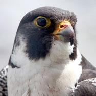 falcon-checkup3