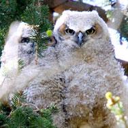 GHO-owlets2