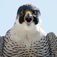 falcon16