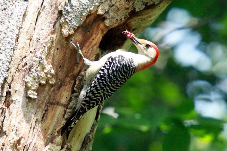 rbwoodpecker-treehole1