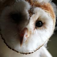 barn-owl-banding7