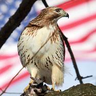 hawk-flag3