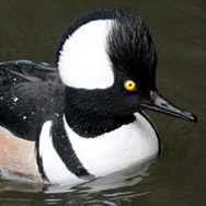 hooded-merganser-downtown1