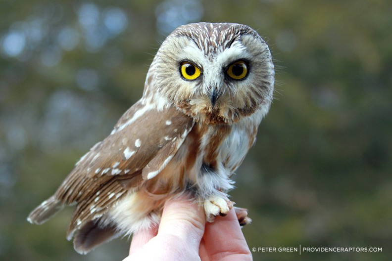 northern saw whet owl returns to freedom