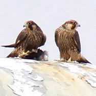 falcon-release-newport1