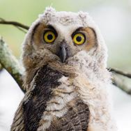 GHO2014-owlet1