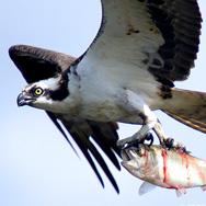 osprey+fish2