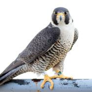 falcon-checkup2015-3