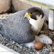 falcon-checkup2015-5