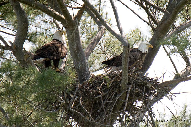 Bald Eagles nest near Providence