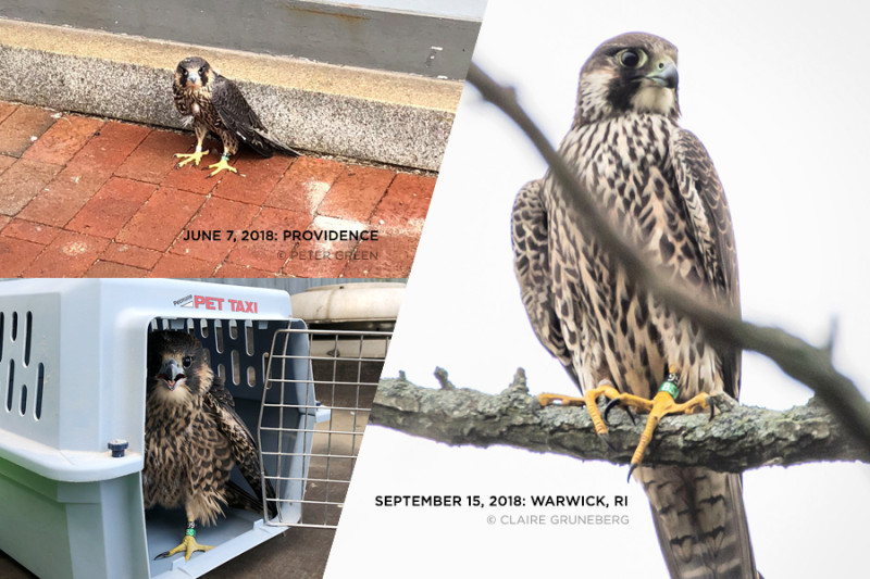 Peregrine Falcons in Providence