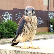 kestrels2016-fledglings7
