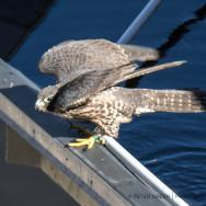 falcon22BE-1