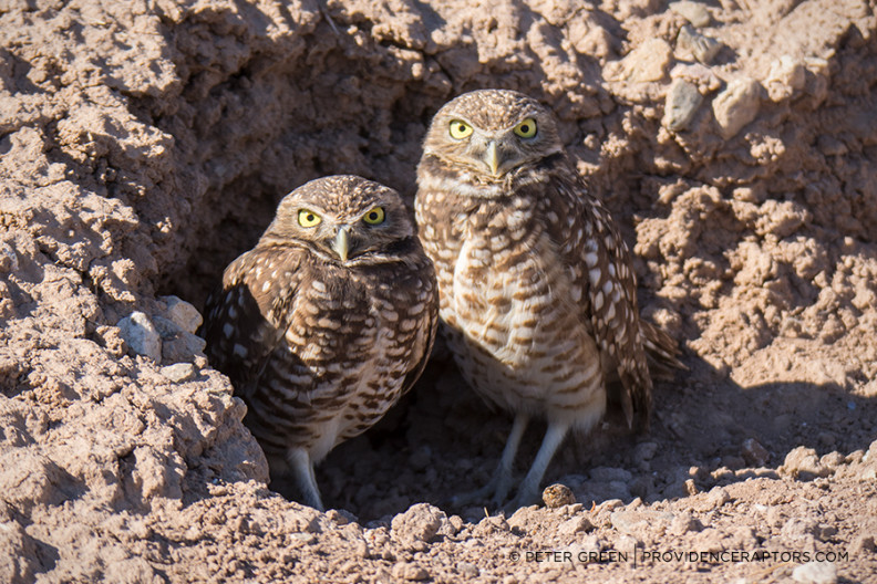 california2016-burrowingowls1