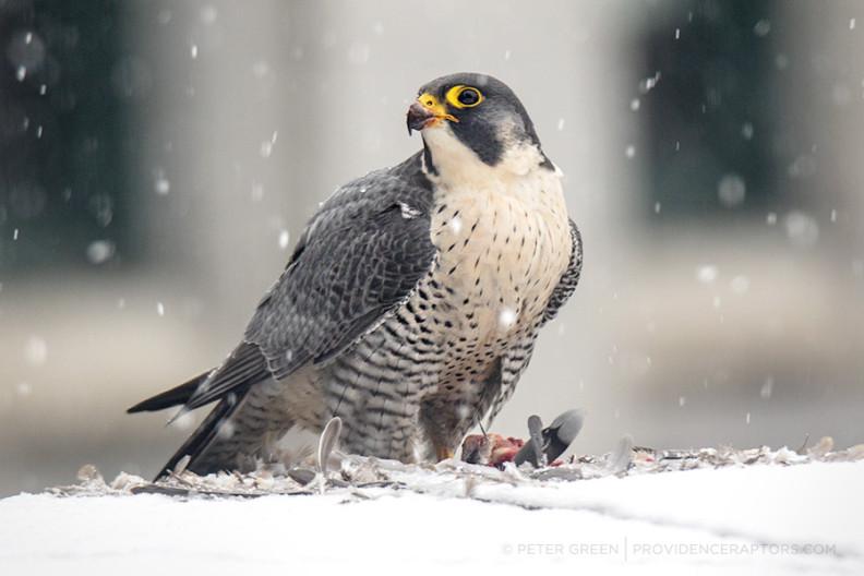 falcons2018-1